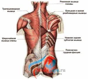 Мускулы, участвующие в формировании сколиоза грудного отдела