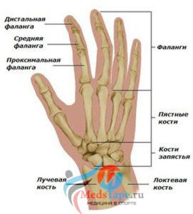 Строение руки: фаланги пальцев